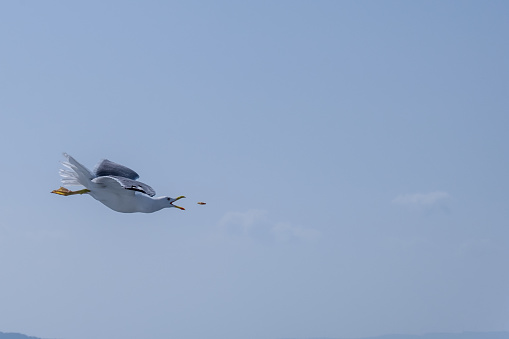 A seagull flying freely in the air and fed 1149896241