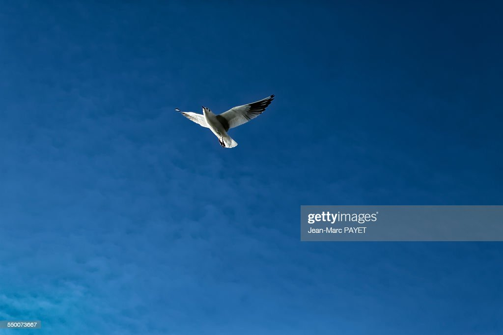 Seagull flying in a blue sky : Photo