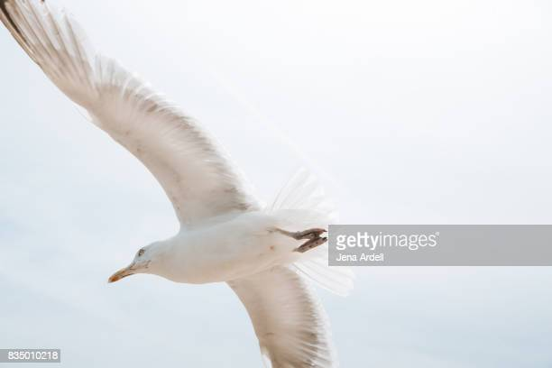 Seagull Flying In Air