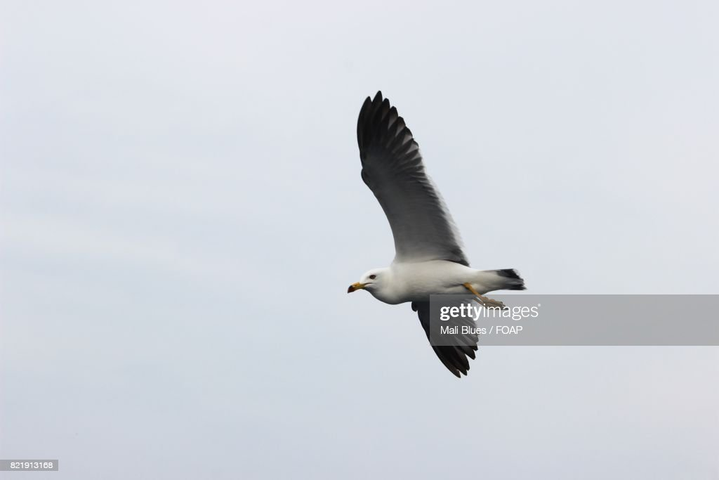 Seagull flying in flight : Stock Photo