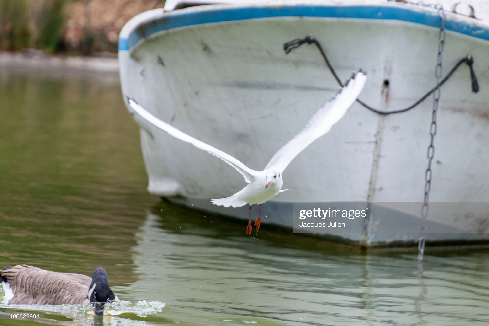 Seagull flying in front of a boat : Photo
