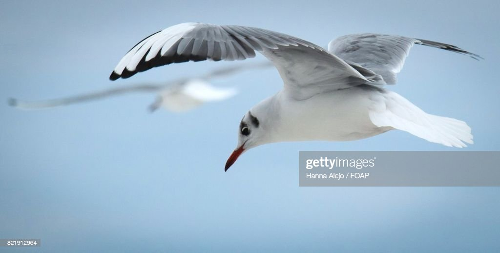 Seagull flying in mid-air : Stock Photo