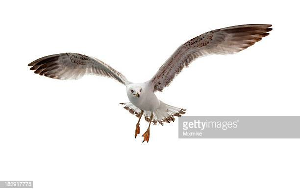 Seagull flying in white background