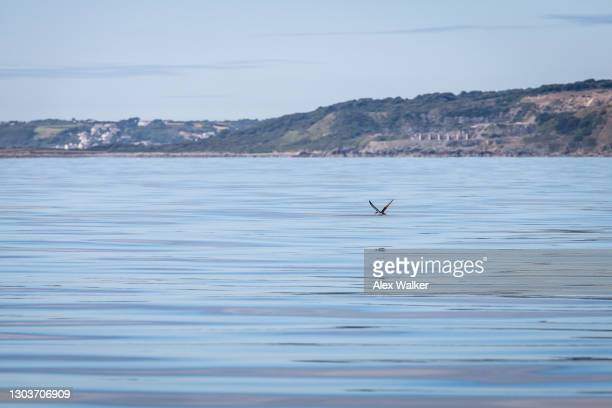 seagull flying low next to calm waters and clear skies. - falmouth england stock pictures, royalty-free photos & images