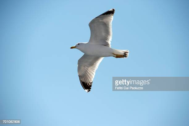 A seagull flying on the Aegean Sea at Kavala,  eastern Macedonia, Northern Greece