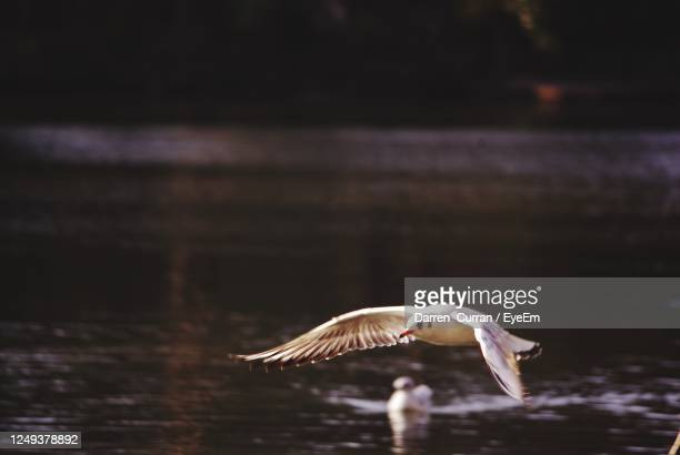 seagull flying over a lake - curran stock pictures, royalty-free photos & images