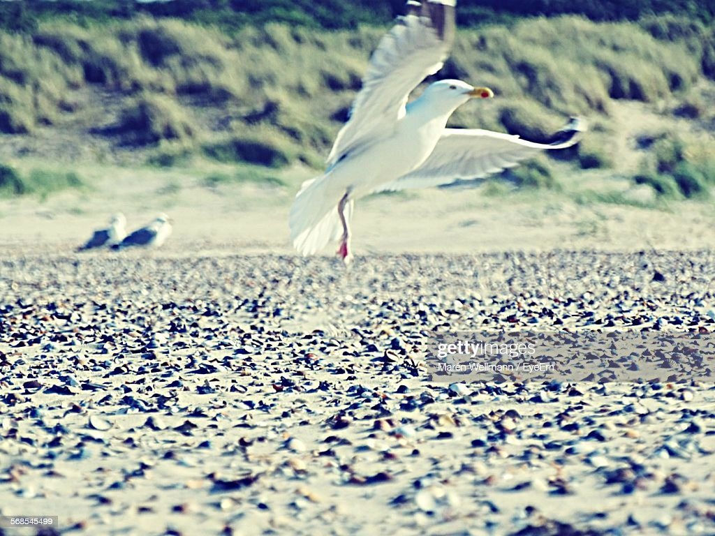 Seagull Flying Over Field : Stock Photo