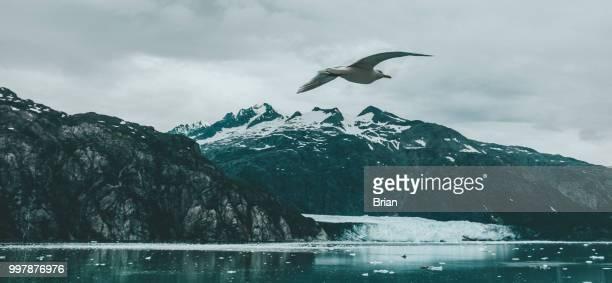 Seagull Flying Over Glacier Bay National Park and Preserve, Alaska
