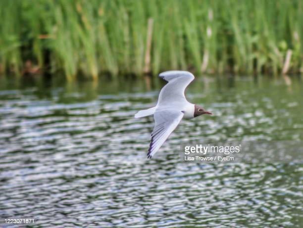 seagull flying over lake - esher stock pictures, royalty-free photos & images