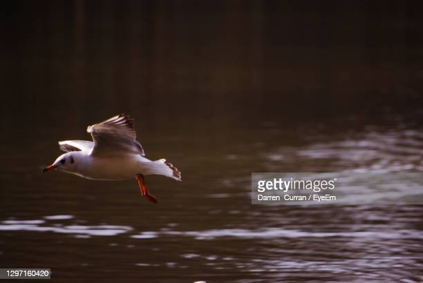 seagull flying over lake - curran stock pictures, royalty-free photos & images