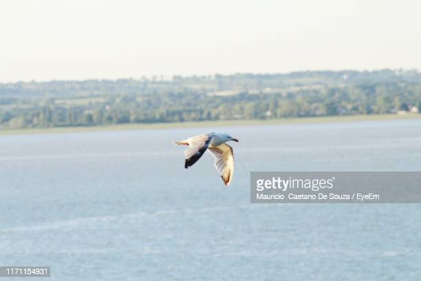seagull flying over sea against clear sky - mauricio caetano de souza stock photos and pictures
