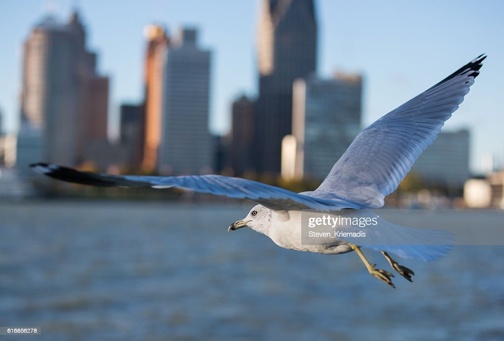 Seagull Flying over the Detroit River : Stock Photo