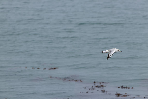 A Seagull Flying Over The Sea, Arauco, Chile