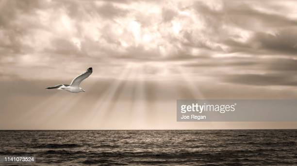 seagull flying over water - spiritual enlightenment stock pictures, royalty-free photos & images