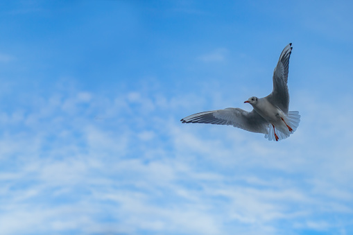 Seagull gliding freely in the sky 629788760