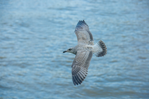 Seagull gliding freely over the water 629997000
