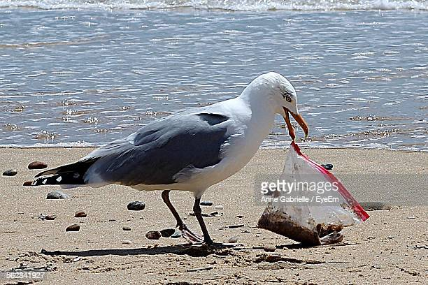 seagull holding plastic bag on beach - zeevogel stockfoto's en -beelden