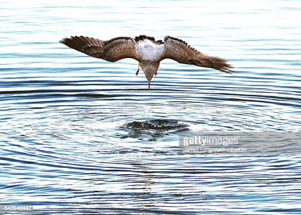 seagull hunting at sea - widnes stock pictures, royalty-free photos & images