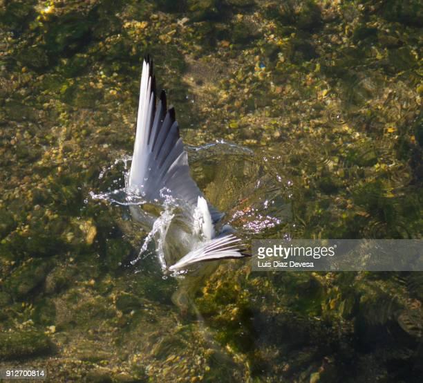 seagull hunting