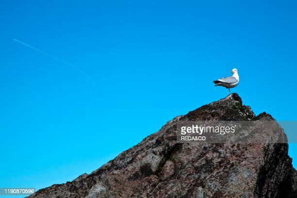 Seagull Ilfracombe North Devon England Great Britain