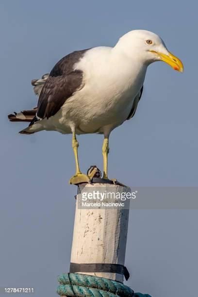 seagull in buzios, rio de janeiro - marcelo nacinovic stock pictures, royalty-free photos & images