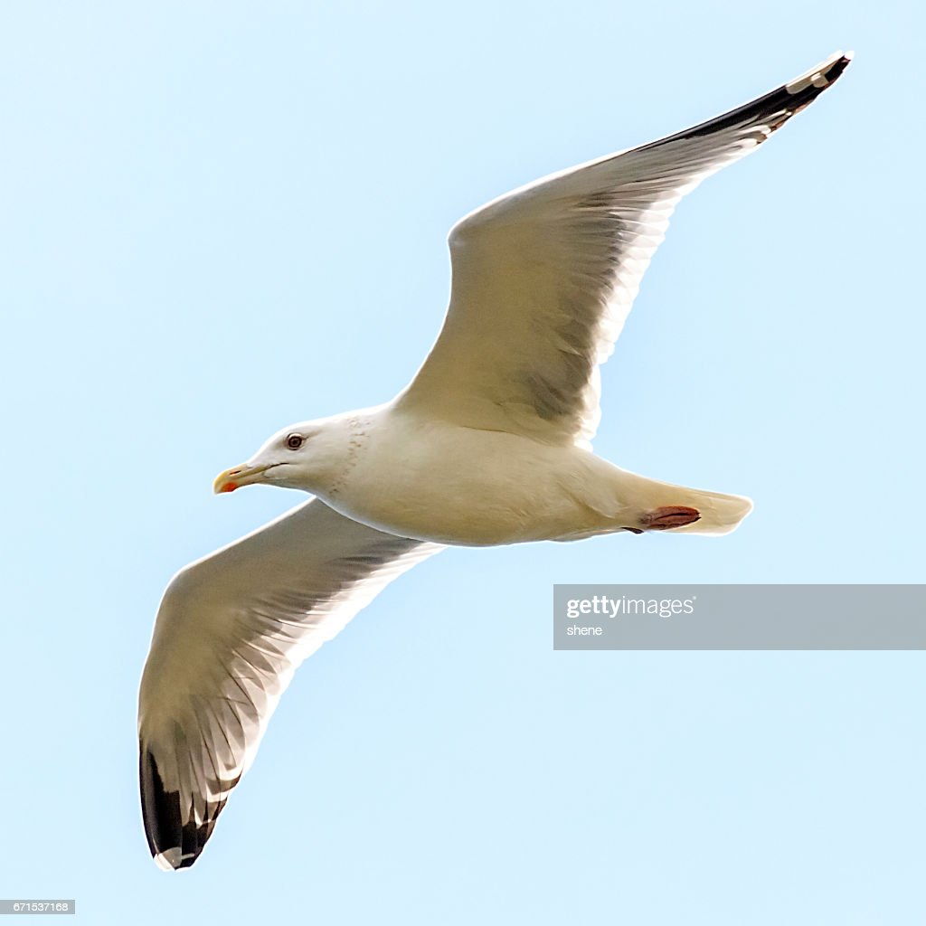 Free photo: Seagull, Seagull In Flight - Free Image on Pixabay ...