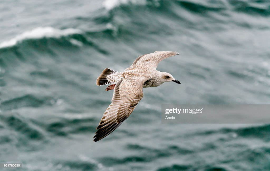 Seagull in flight viewed from above, with a dark green sea swell in the background.