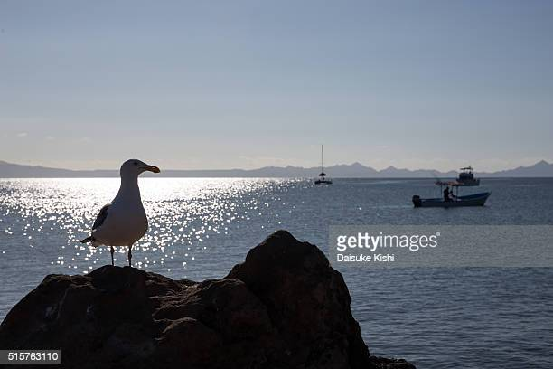 A seagull in Loreto, Mexico