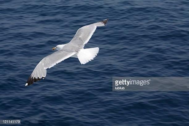 Möwe in breit-winged Flug über dunkel blauen Ozean