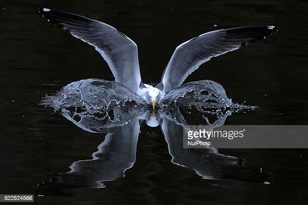 Seagull is landing as looking for some food in St Stephen's Green park, in Dublin's city center area, Dublin, Ireland, on Monday April 18, 2016