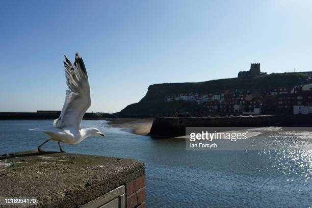 Seagull is seen as the streets of Whitby remain empty as visitors observe the guidelines during the Coronavirus pandemic lockdown on April 05, 2020...