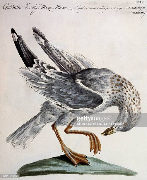 Seagull known as Half Fly colour etching by Lorenzo Lorenzi and Violante Vanni from Natural History of Birds by Saverio Manetti Florence 17671776...