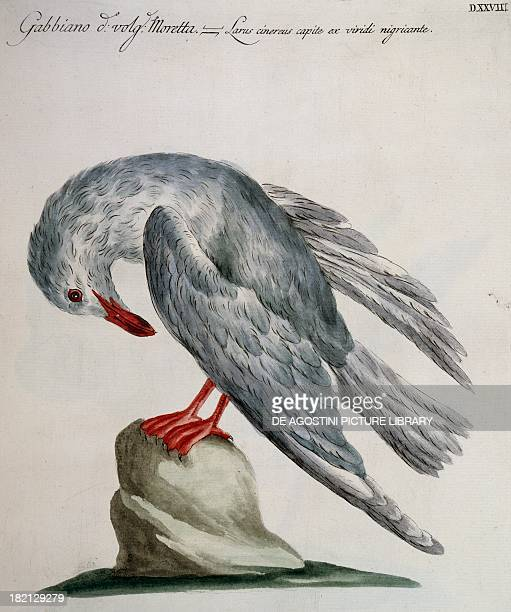 Seagull known as Moretta colour etching by Lorenzo Lorenzi and Violante Vanni from Natural History of Birds by Saverio Manetti Florence 17671776...