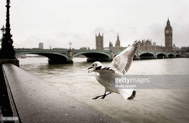 A seagull lands on the Embankment wall near the Houses of Parliament on March 22 2005 in London