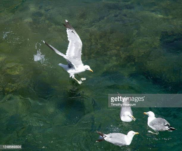 a seagull lands on the truckee river to join three others already floating there - timothy hearsum stock pictures, royalty-free photos & images