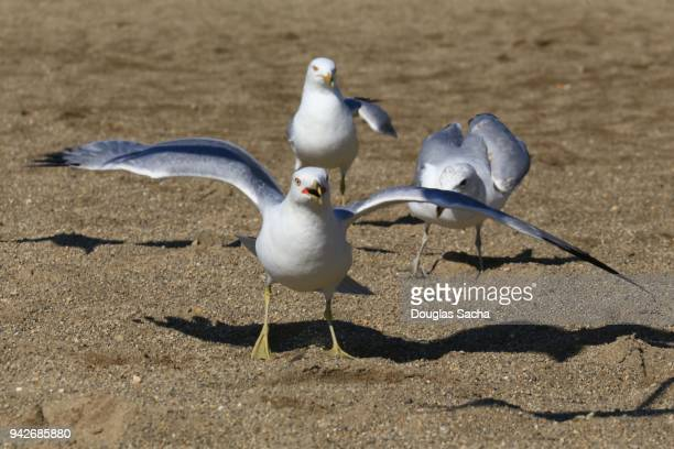 seagull looking for food on the beach - flightless bird stock photos and pictures