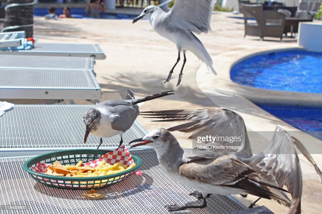 Seagull Lunch : Stock Photo
