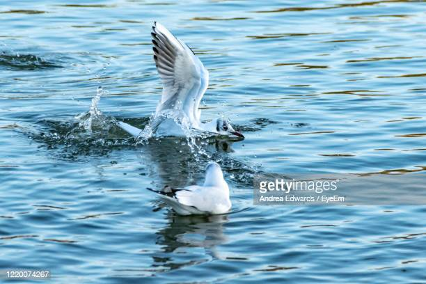 seagull making a splash landing on water - st. albans stock pictures, royalty-free photos & images