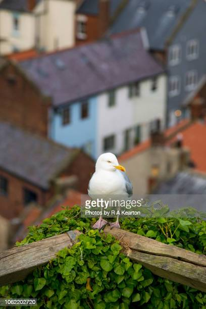 Seagull on fence at Staithes, North Yorkshire, England