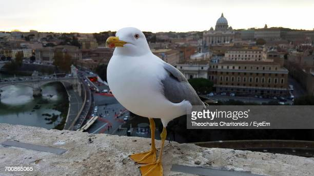 Seagull On Retaining Wall With St Peters Basilica In Background