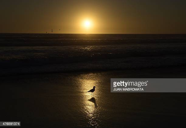 A seagull on the shoreline at sunset in La Serena Coquimbo Chile on June 10 2015 AFP PHOTO / JUAN MABROMATA