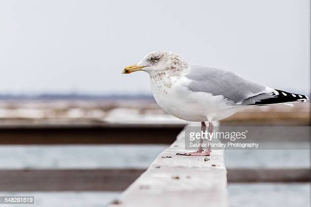 seagull on wooden beam - wantagh stock pictures, royalty-free photos & images