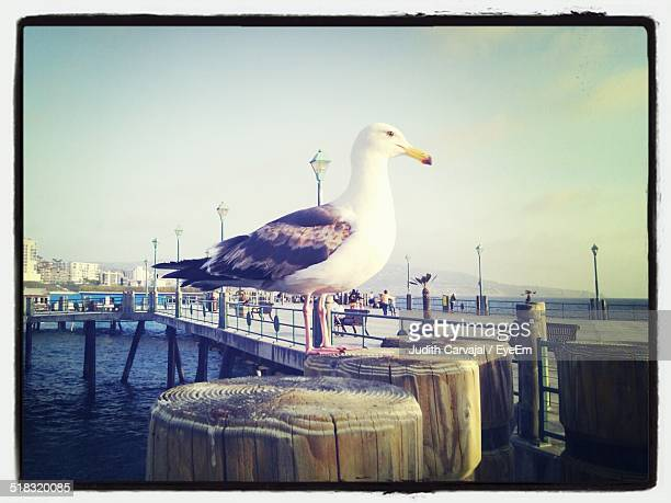 seagull on wooden post - carvajal stock photos and pictures