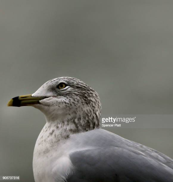 A seagull pauses above the water in New York Harbor on January 16 2018 in New York City New York Governor Andrew Cuomo has written a letter to...