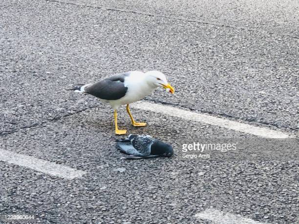 seagull pecking at dead pigeon - kerb stock pictures, royalty-free photos & images
