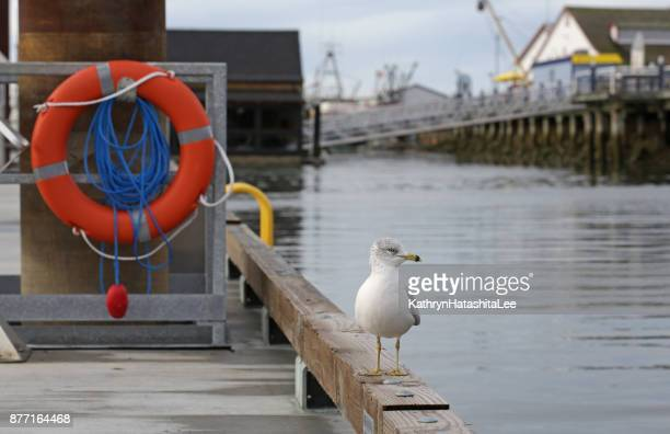 seagull perched on a dock, steveston harbour, british columbia, canada in autumn - richmond british columbia stock photos and pictures