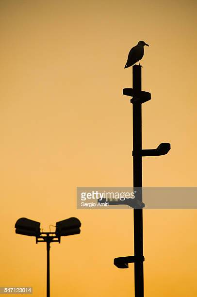 Seagull perched on a lamp post in silhouette