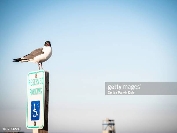 seagull perched on parking sign - panyik-dale stock photos and pictures