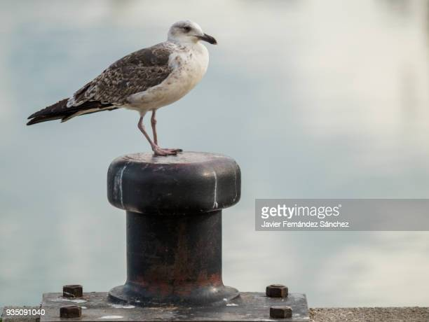 a seagull perched on the mooring bollard in the fishing port. - bollard stock photos and pictures