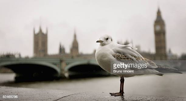 A seagull perches on the Embankment wall near the Houses of Parliament on March 22 2005 in London